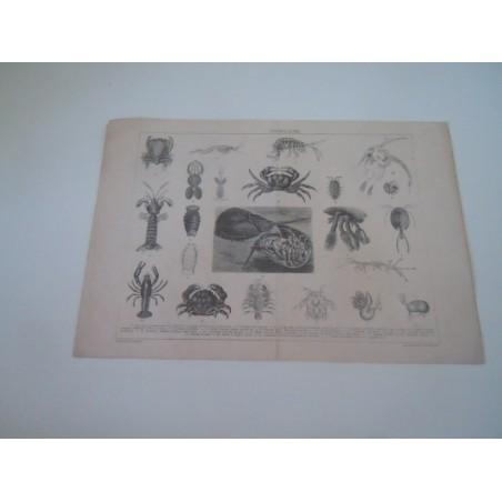 Stampa Crostacei dalla enciclopedia universale su cartoncino